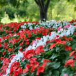 Impatiens-Along-Walkway-Ken-Nickles_640x4271